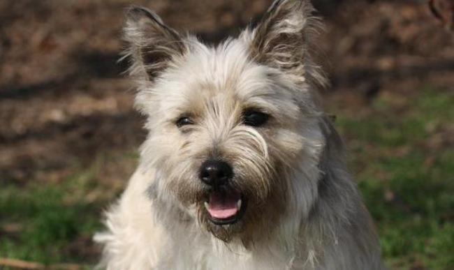 Douky Chien Cairn Terrier A Adopter Dans La Region Ile De France