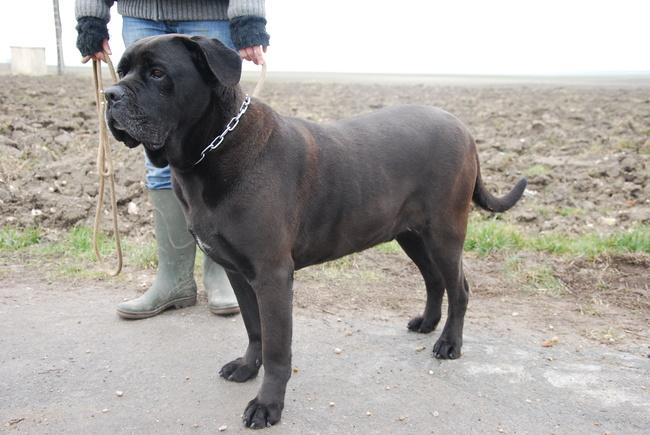 cane cane corso pending adoption dog breeds picture