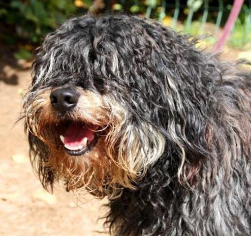 Volt chien caniche adopter dans la r gion aquitaine - Race chien volt ...