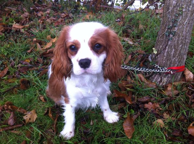 Jerry 7 Mois Chiot Cavalier King Charles 224 Adopter