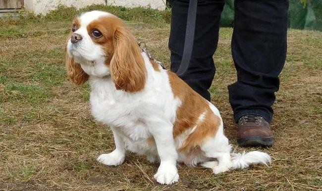 Ginger Reservee Chien Cavalier King Charles A Adopter Dans La Region Auvergne