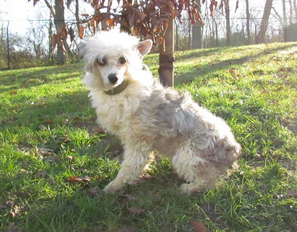 Jalousie : chien chien chinois à crête à adopter dans la