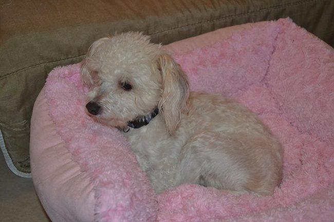 fouzie chien chien chinois houpette a poudre adopter dans la r gion midi pyr n es. Black Bedroom Furniture Sets. Home Design Ideas