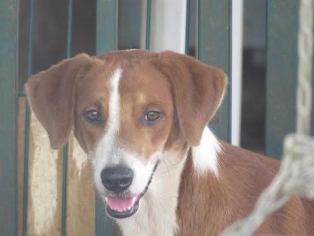 Volt oaa17272 chien chien courant adopter dans la - Race chien volt ...
