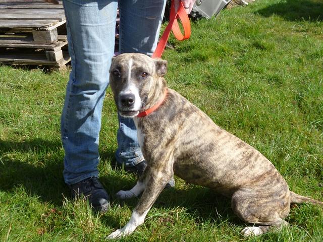 Stripe chien chien crois moyenne race adopter dans la - Race chien volt ...