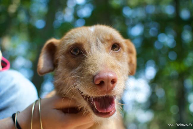 Jules chien chien crois moyenne race adopter dans la - Race chien volt ...