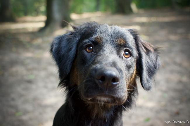 Sultan chiot chien crois moyenne race adopter dans la - Volt chien race ...