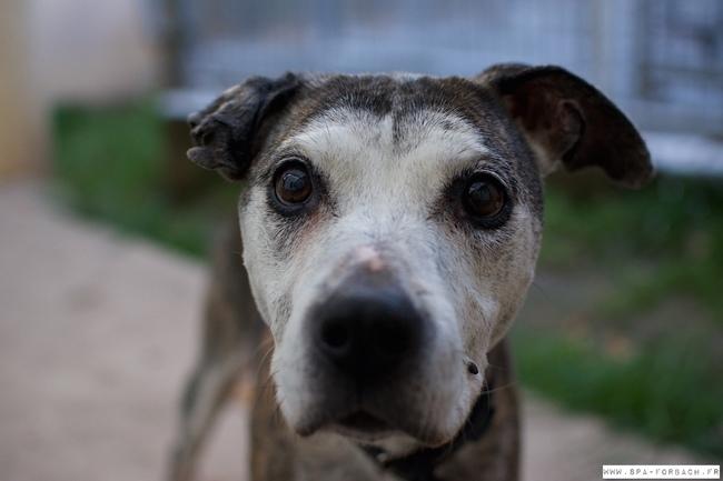 Brenda chien chien crois moyenne race adopter dans la - Race chien volt ...