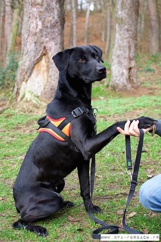 Darky chien chien crois moyenne race adopter dans la - Race chien volt ...