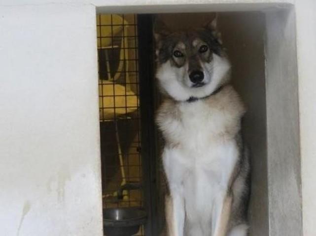 idalgo chien chien loup de saarloos adopter dans la r gion picardie. Black Bedroom Furniture Sets. Home Design Ideas