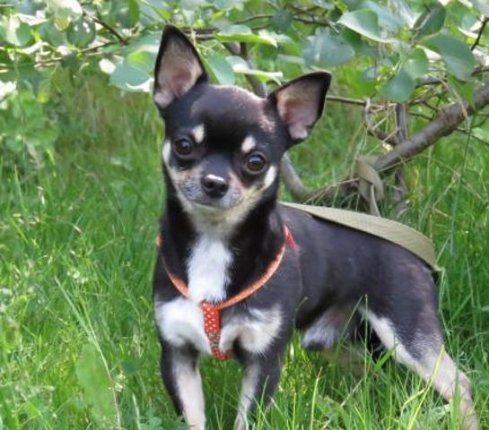 lord chien chihuahua adopter dans la r gion ile de france. Black Bedroom Furniture Sets. Home Design Ideas