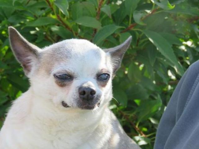 Chouchou Chien Chihuahua A Adopter Dans La Region Nord Pas De Calais