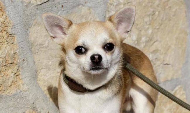 Guess Chiot Chihuahua A Adopter Dans La Region Ile De France