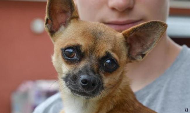 Noe Chien Chihuahua A Adopter Dans La Region Languedoc Roussillon