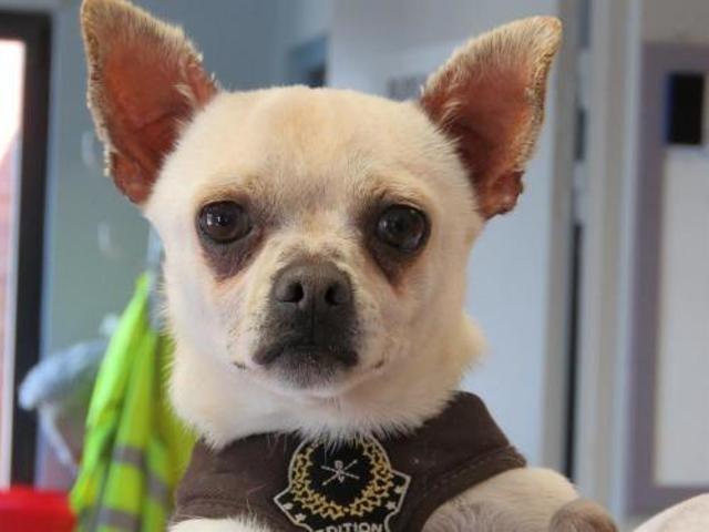 Bebe Dit Loulou Chien Chihuahua A Adopter Dans La Region Nord Pas De Calais