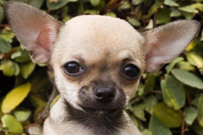 Sergio Chiot Chihuahua A Adopter Dans La Region Bretagne