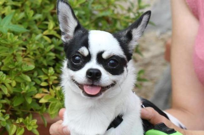 Oky Chiot Chihuahua A Adopter Dans La Region Ile De France