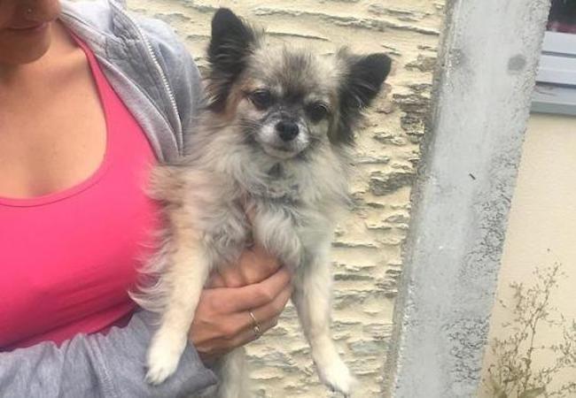 Embre Chien Chihuahua A Adopter Dans La Region Pays De La Loire
