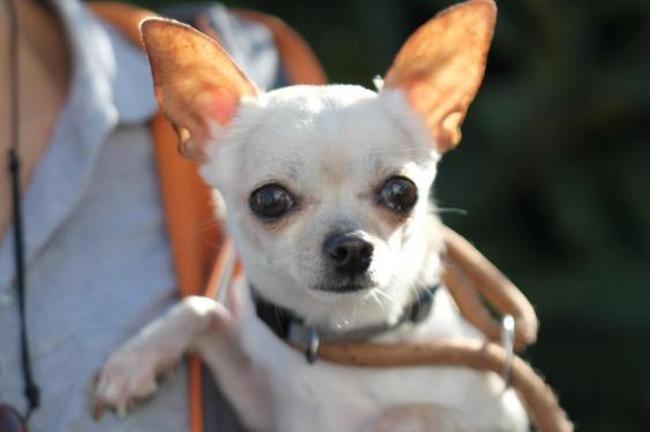 Chocolat Chien Chihuahua A Adopter Dans La Region Ile De France