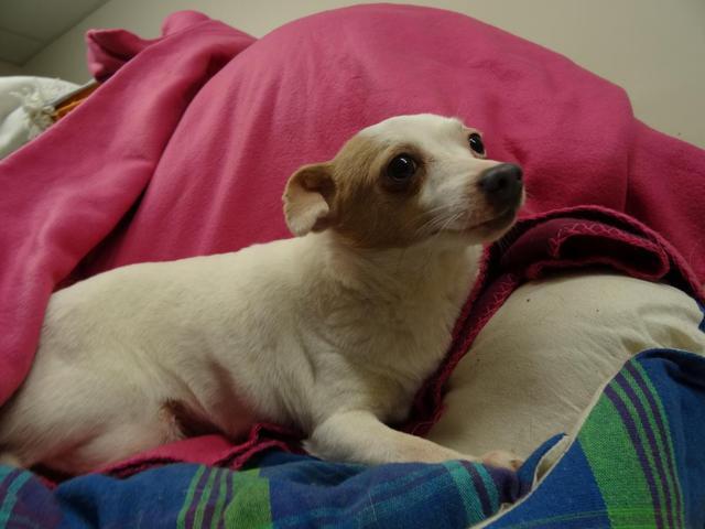 Eve : chien chihuahua croisé jack russel à adopter dans la
