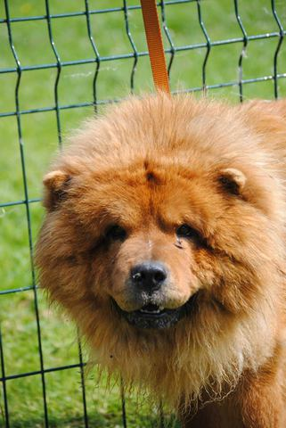 chamalow chien chow chow adopter dans la r gion nord pas de calais. Black Bedroom Furniture Sets. Home Design Ideas