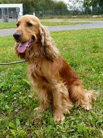 Diego : chien cocker à adopter dans la région Pays de la Loire