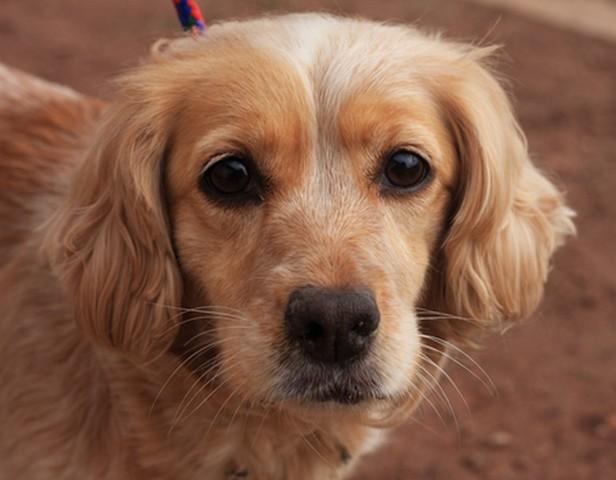 Lola chien cocker crois epagneul adopter dans la - Race chien volt ...
