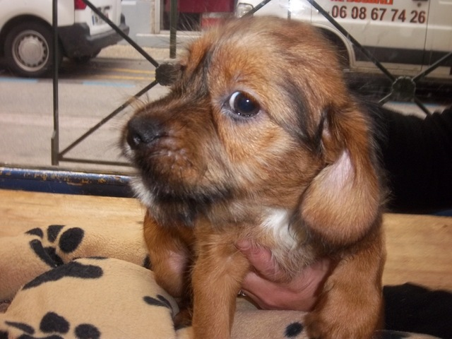 inouk chiot terrier petite taille chien crois. Black Bedroom Furniture Sets. Home Design Ideas