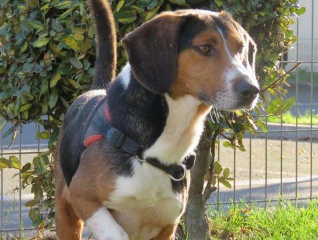panoramix chien crois autre beagle adopter dans la r gion bretagne. Black Bedroom Furniture Sets. Home Design Ideas
