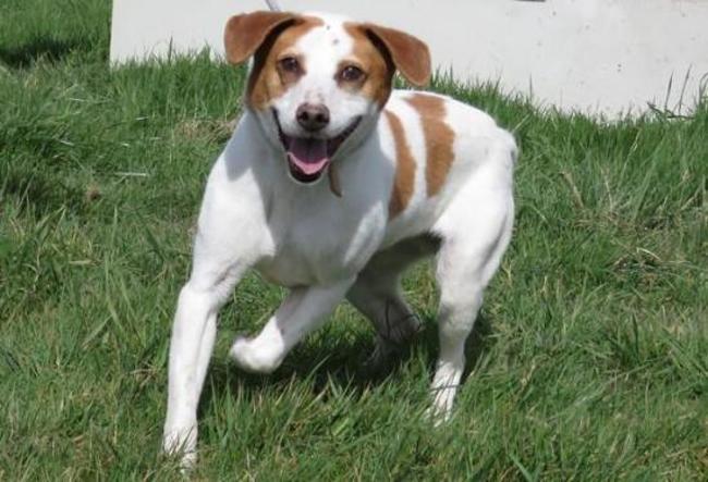 ikea chien crois autre beagle adopter dans la r gion pays de la loire. Black Bedroom Furniture Sets. Home Design Ideas