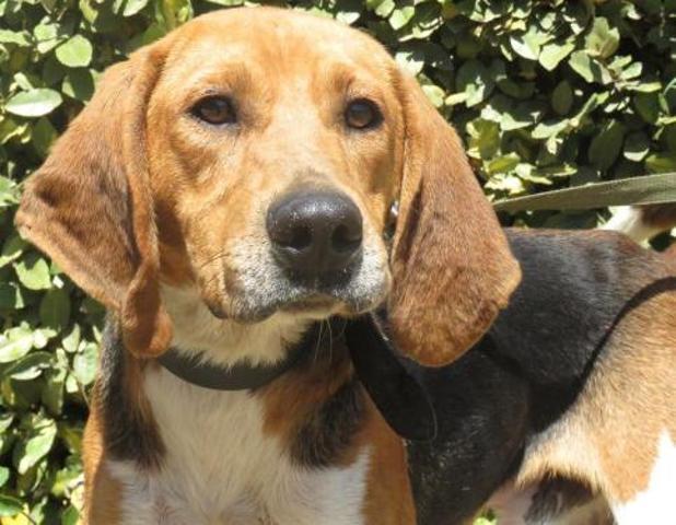 KINAK - x beagle 3 ans - Spa de Rennes (35) Chien-croise-autre-beagle-adopter-383915-4