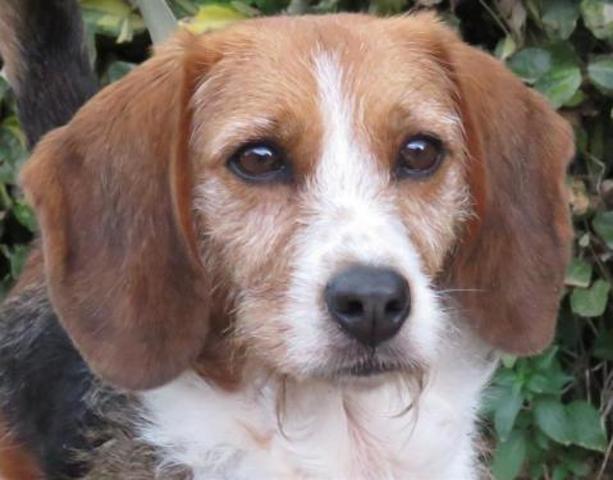 reglisse chien crois autre beagle adopter dans la r gion bretagne. Black Bedroom Furniture Sets. Home Design Ideas