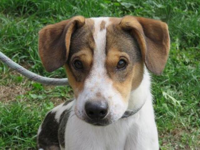 MAESTRO - x beagle 1 an -Spa de Tilloy les Mofflaines (62) Chien-croise-autre-beagle-adopter-387069