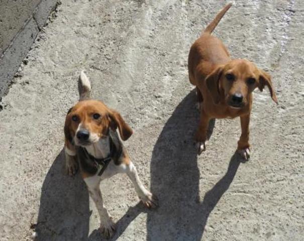 alliwell chien crois autre beagle adopter dans la r gion bretagne. Black Bedroom Furniture Sets. Home Design Ideas