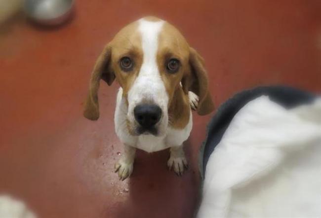 PALMITO - x beagle 3 ans - Spa de Plaisir (78) Chien-croise-autre-beagle-adopter-393824-2