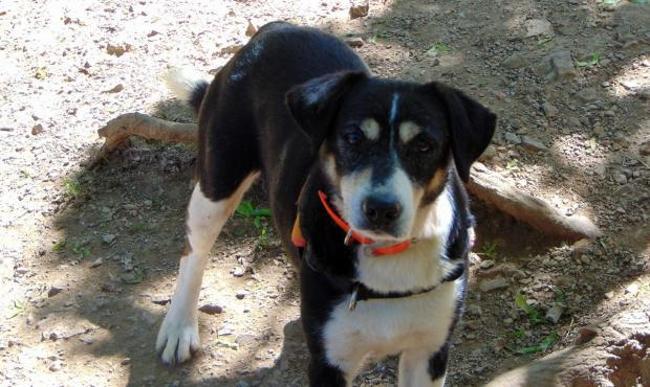 GRUZ - x beagle/griffon tricolore 6 ans - Spa de Millau (12) Chien-croise-autre-beagle-griffon-adopter-271743