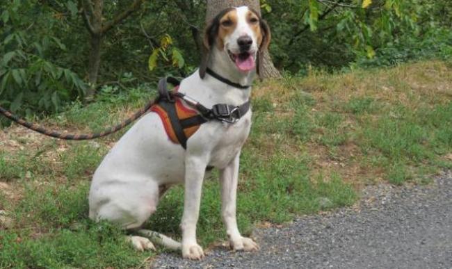 CHANEL - x beagle/porcelaine 2 ans - Spa de Millau (12) Chien-croise-autre-beagle-porcelaine-adopter-386471-2