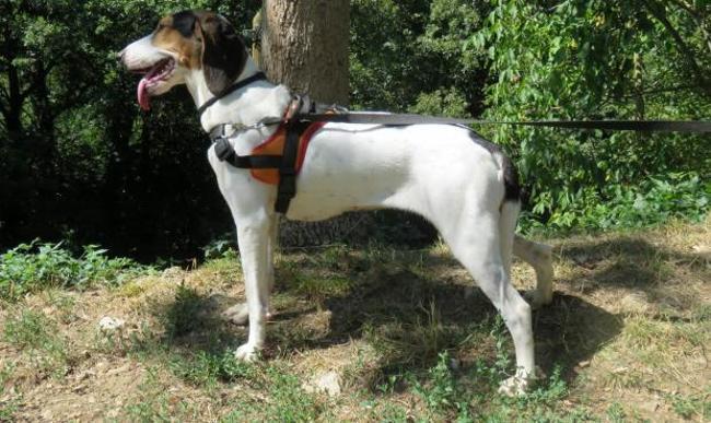 CHANEL - x beagle/porcelaine 2 ans - Spa de Millau (12) Chien-croise-autre-beagle-porcelaine-adopter-386471-3