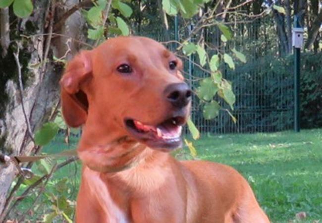 Volt paa17116 chien crois autre berger adopter - Race chien volt ...