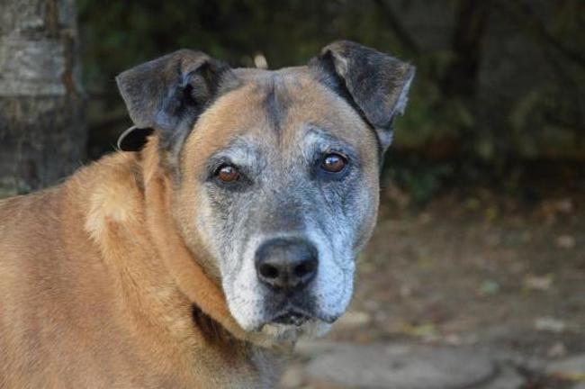 BEETHOVEN - x berger 13 ans - Spa de Chamarande (92) Chien-croise-autre-berger-adopter-390096