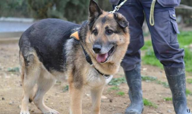 darouck chien crois autre berger allemand adopter dans la r gion languedoc roussillon. Black Bedroom Furniture Sets. Home Design Ideas