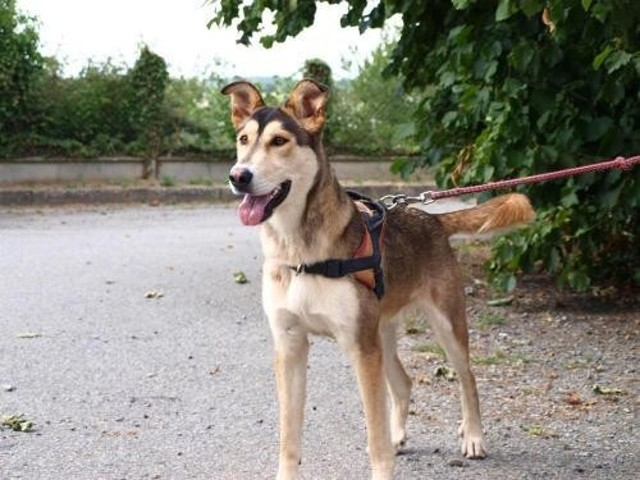 Maïkal : chien croisé / autre (berger allemand/ husky
