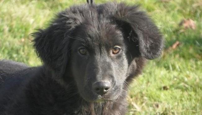 Ramsès : chien croisé / autre (berger belge groenendael) à