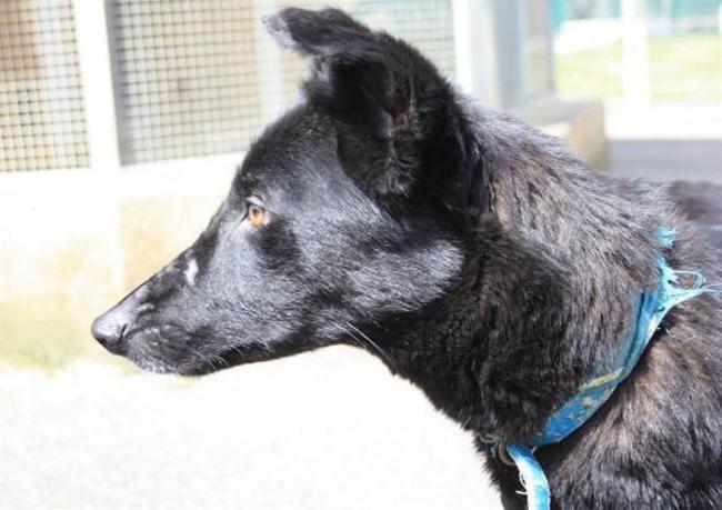 mabelle chien crois autre berger belge groenendael adopter dans la r gion midi pyr n es. Black Bedroom Furniture Sets. Home Design Ideas