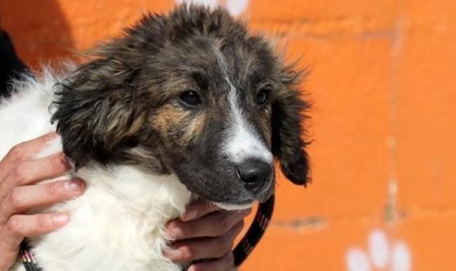 Must chiot crois autre border collie adopter dans for Salon des chiens
