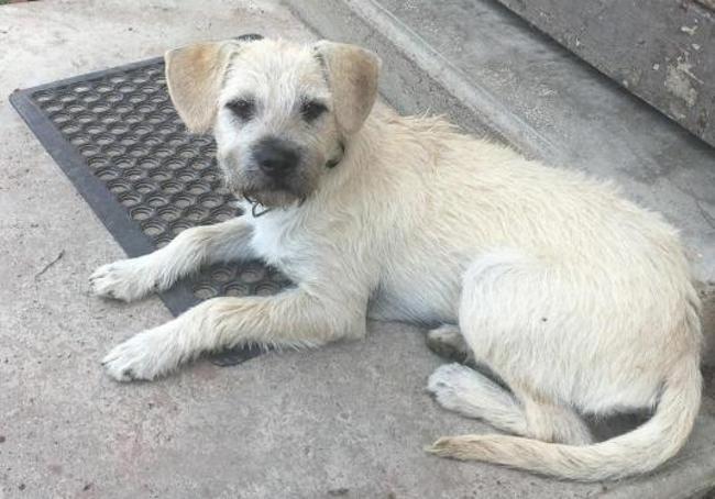 Lilou Chiot Croise Autre Border Terrier A Adopter Dans La Region Lorraine