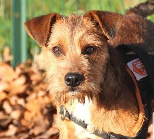 Patxi Chiot Croise Autre Border Terrier A Adopter Dans La Region Aquitaine