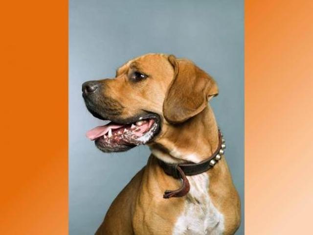 hapache chien crois autre boxer adopter dans la r gion picardie. Black Bedroom Furniture Sets. Home Design Ideas