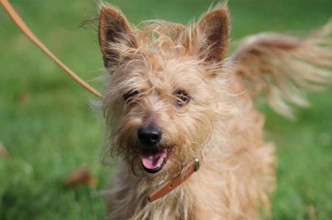 Ledah Chiot Croise Autre Cairn Terrier Yorkshire Terrier A Adopter Dans La Region Ile De France