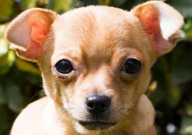 Ugly Chiot Croise Autre Chihuahua A Adopter Dans La Region Bretagne